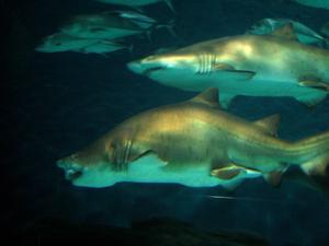 sharks, shanghai aquarium